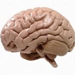 hersenen1
