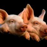 varkens met griep